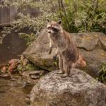 東京やその周辺でアライグマが見られる動物園は?