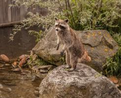 アライグマ 東京 動物園