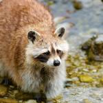 アライグマが日本に来た経緯は? 実は危険な外来種