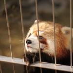 アライグマとレッサーパンダの見た目の違い