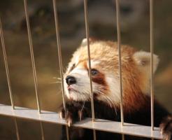 アライグマ レッサーパンダ 見た目 違い
